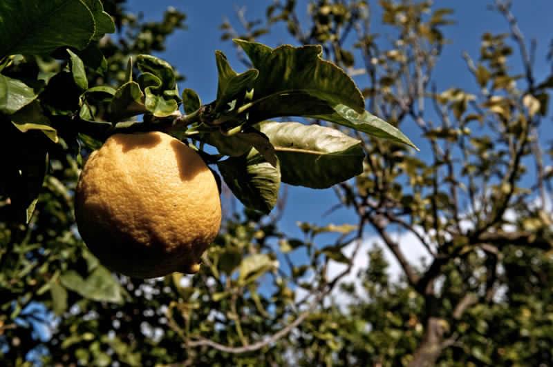 Albero con frutto di bergamotto