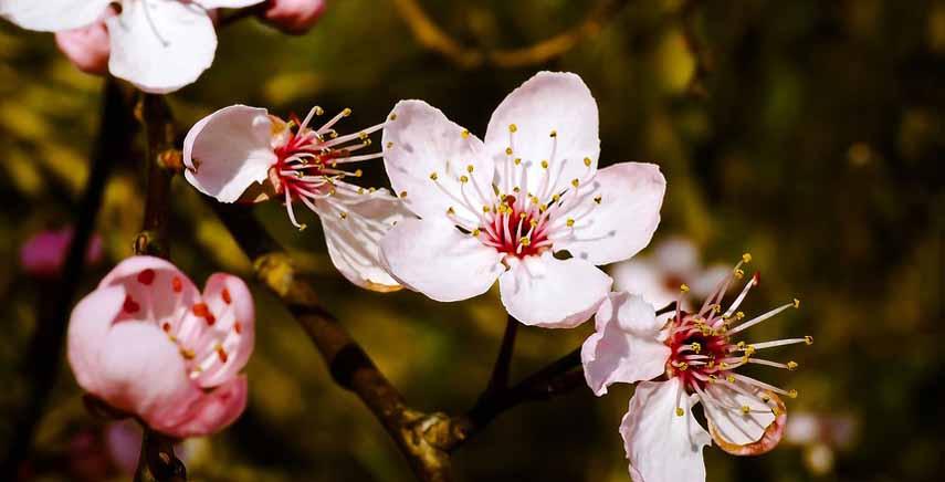 I fiori bianco-rosati del mandorlo o Prunus amygdalus