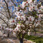 L'erbario: il mandorlo (Prunus amygdalus)