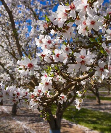 Mandorlo o Prunus amygdalus