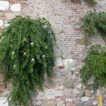 L'erbario: il cappero (Capparis spinosa)