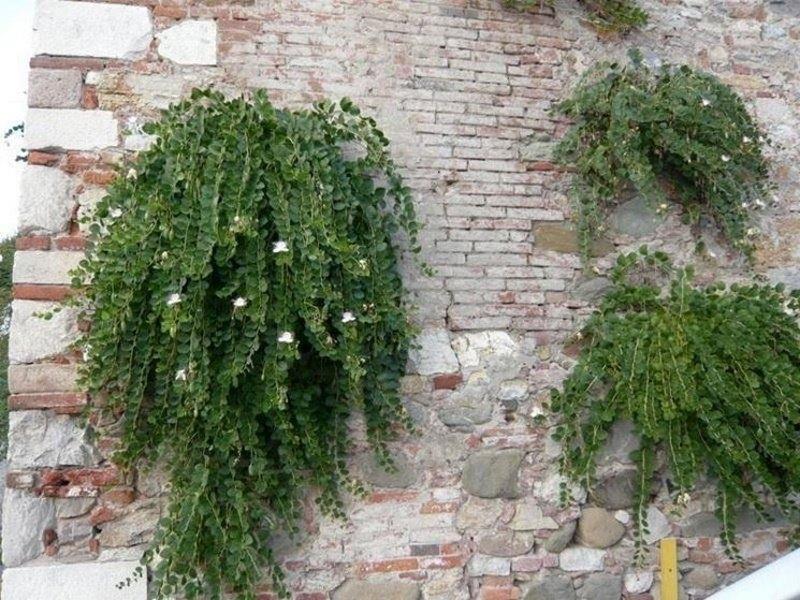 Cappero (Capparis spinosa).