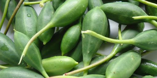 Cucunci del cappero (Capparis spinosa).