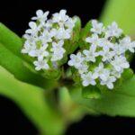 L'erbario: la valerianella (Valerianella locusta)